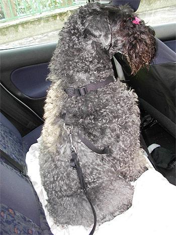 Kutya biztonsági övvel bekötve a hátsó ülésen
